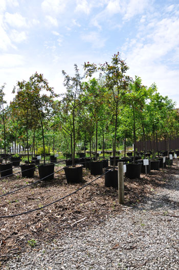 Reedurban Nursery Trees
